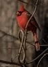 Introducing, the infinity Cardinal! (flintframer) Tags: cardinal wild wildlife nature muscatatuck nwr redbird canon eos 7d markii ef100400mm