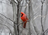 The Happy Cardinal (Philocycler) Tags: cardinal red happy canon canon5dmarkiii sigma150600mm montrose winter chicagoist