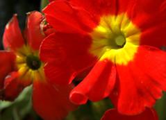 20-IMG_8863 (hemingwayfoto) Tags: blühen blüte blume garten gartenblume gewächs natur pflanze primel rot
