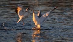 The Thief (Nephentes Phinena ☮) Tags: elbe hamburg nikond300s schulau willkommhöft bird birds animal