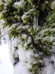 Mossy Icicles Macro 4 - Snowpocalypse 2017_37