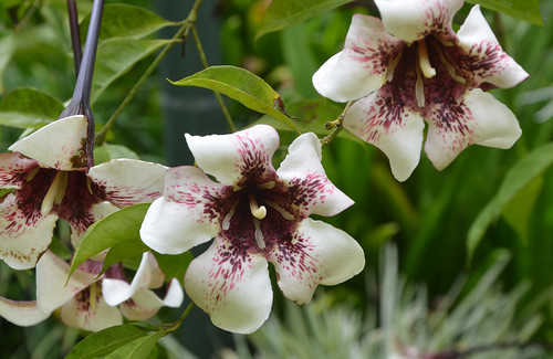 DSC_6484 Rothmannia longiflora, Flecker Botanic Garden, Cairns, Queensland