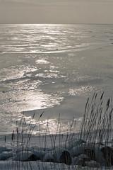 frozen ijsselmeer [explored] (carol_malky) Tags: ijsselmeer frozen ice coldweather sunlight glistening reeds explored