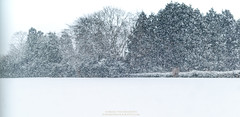 Winter Arrival (tohokuphotography) Tags: japan winter white snowfall aomori tree tohokuphotography landscape nature tohoku prefecture north storm beauty natural precipitation cold picture photo photography sigma canon misawa oirase blanket flurries love