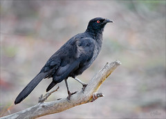 White-winged Chough re-edit (caralan393) Tags: bird chough black red