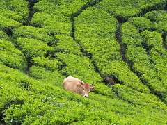 "Cow ""tea picker"" tea plantation trek, South India (malithewildcat) Tags: cow teapicker southindia india kerala tamilnadu tea plantation trek teaplantationtrek"