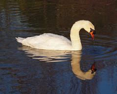 2016_12_0569 (petermit2) Tags: muteswan swan clumberpark clumber sherwoodforest sherwood nottinghamshire nationaltrust nt