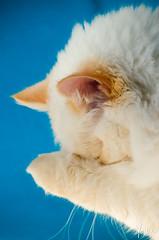 Shy (Yosha Photography) Tags: cat kitten fluffy soft small shy pet portrait white feline babycat baby animal domestic