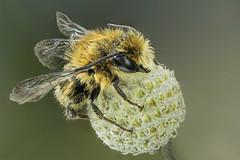 Hymenoptera. Osmia sp ( thaks to bleu.geo and Bernhard Jacobi for the ID) (dorolpi) Tags: