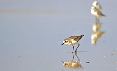 Is that food? (Breboen) Tags: explore water beach reflection pov bird walk animal nature dof focus blur simple sea