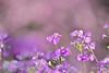 Cherry Blossom + Primula sieboldii (Jennifer 真泥佛) Tags: 武陵農場 櫻花 紅粉佳人 櫻花季 sakura cherryblossoms cherryblossom taiwan pinklady pink 吉野櫻 花卉 賞花 櫻草 報春花 flower flora makro tamronsp150600mmf563divcusdg2 nikond4s