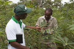 Mathias Ndalahwa of IITA talks to a farmer about identification of cassava brown streak disease. Mkuranga district, Tanzania. Photo H.Holmes/RTB