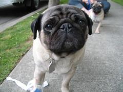 Norman The Pug (shanebee) Tags: dog pug