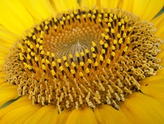The Great Sunflower Project For Bees
