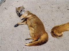 Fuchsmanguste (Joachim S. Mller) Tags: animal germany mammal deutschland zoo hessen tier mongoose opelzoo mungo yellowmongoose cynictispenicillata kronberg manguste sugetier fuchsmanguste cynictis