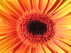 (jaja_1985) Tags: orange flower macro closeup gerbera