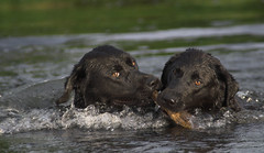 gundog2_cfb_030606_flickr (Chris Frear) Tags: dog training river labrador dumfries galloway thornhill nith gundogs