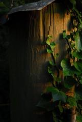 Evening Ivy - by seth.underwood
