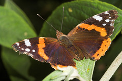 "Red Admiral (vanessa atalanta) Butterfly • <a style=""font-size:0.8em;"" href=""http://www.flickr.com/photos/57024565@N00/177669335/"" target=""_blank"">View on Flickr</a>"