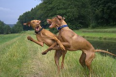 Fight Club (holdrioo_ch) Tags: dog game dogs animal animals ilovenature fight cool pointer vizsla hund 5bestdogs fighting dogfight alvaro hunde spiel fightclub anuschka kurzhaar hungarianvizsla vizslas vorstehhund magyarvizsla actiondogs p1f1 scheinkampf