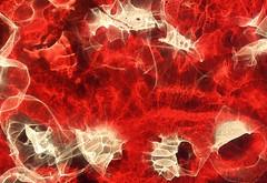 Strange Creatures in a Red Sea (Reciprocity) Tags: light red abstract colour film analog 35mm interestingness nikon experimental superia patterns 200asa plastic sp refraction analogue lensless caustics photogram nikomat nikkormat lightart printscan experimentalphotography reciprocity refractograph