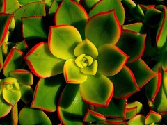 Star bright (Earlette) Tags: red plant flower color colour green garden ilovenature star pretty biweeklypatterns