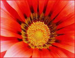 Red gazania ( Graa Vargas ) Tags: red flower macro topv111 gazania interestingness315 i500 graavargas 2006graavargasallrightsreserved 446322181109