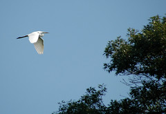Great Egret at Trempealeau National Wildlife Refuge (Jim Frazier) Tags: road trip travel blue summer vacation sky