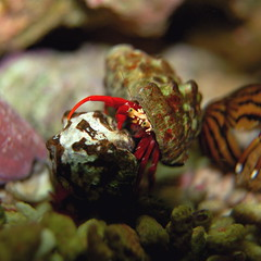 Hermit Crab (4mediafactory) Tags: sea macro water rock hermitcrab d50 aquarium living little crab sealife nikond50 fishtank tiny aquatic reef nano creatures creature hermit crabby saltwater seawater redlegged livingrock nanoreef reefaquarium einsiedlerkrebs einsiedler aquamania aquavirus crabbyphotos lebendgestein chelipad