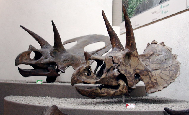 Fósil Triceratops Torosauro Torosaurus