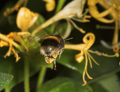 """Flight Of The Bumble Bee(1) • <a style=""""font-size:0.8em;"""" href=""""http://www.flickr.com/photos/57024565@N00/192829389/"""" target=""""_blank"""">View on Flickr</a>"""
