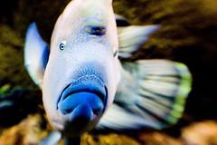 smile (thescatteredimage) Tags: blue fish smile topv111 lensbaby aquarium canon20d australia melbourne victoria f4 jan06 5hits
