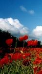sky poppies202