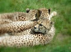 snooze.... (Desired) Tags: animal snooze panter