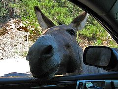 Beggars (W9JIM) Tags: southdakota beggar w9jim mule custerstatepark badbreath