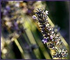 lavender squared (wanderinghome) Tags: flower square oakland purple bokeh lupin 30d joaquinmiller interestingness136 i500 bokehphotooftheday psstandard bokehsonicejuly top20bokeh bokehsonicejuly27 elijahnouvelage top20bokehhallfame