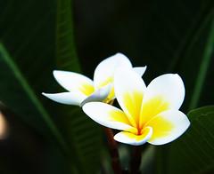 plumeria (wacky doodler) Tags: flower plumeria taiwan frangipani formosa kaoshiung wackydoodler