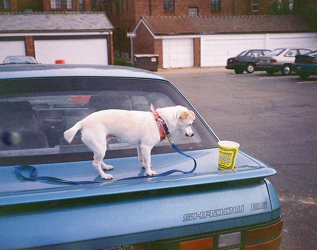 dog car concrete stlouis missouri oldphoto mbk custard date teddrewes dodgeshadow touille blessingoftheanimals