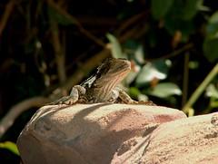 Dragon (bivoir) Tags: dragon lizard coffsharbour