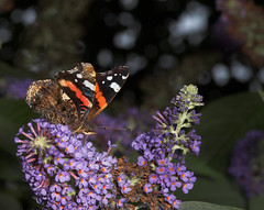 "Red Admiral Butterfly (vanessa atalan(7) • <a style=""font-size:0.8em;"" href=""http://www.flickr.com/photos/57024565@N00/201672751/"" target=""_blank"">View on Flickr</a>"