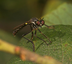 """Robber Fly (Dioctria rufipes) • <a style=""""font-size:0.8em;"""" href=""""http://www.flickr.com/photos/57024565@N00/201689893/"""" target=""""_blank"""">View on Flickr</a>"""