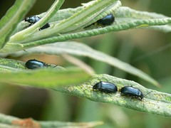 Blue willow beetle