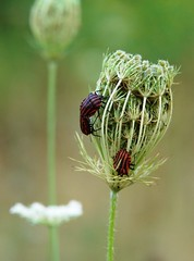 beetles on  peen (latsby) Tags: orange flower macro green insect lace beetle r1 peen vijf naturesfinest dscr1