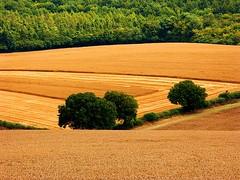 Interrupted harvest (algo) Tags: england green field photography gold topf50 farm topv1111 chilterns topv999 harvest 500v50f topv777 1000v100f algo topf100 hedges halton specnature