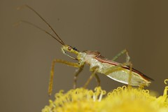 Assassin bug #1 (mrmoorey) Tags: macro closeup canon bug insect assassinbug alanmoore 30d canon30d ef100 ef100mmf28macro leafhopperassassinbug zelusrenardii mrmoorey wwwalanmphotocom alanmoorephotography alanmphoto