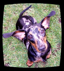Talking to me?? I'm all ears..! (M-a-r-t-i-n-e) Tags: lola ears dachshund dappled teckel dachsie dombo abigfave