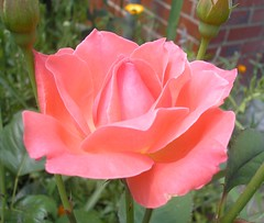 yummy pink rose