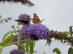 Painted Lady (quintinsmith_ip) Tags: lady butterfly painted paintedlady