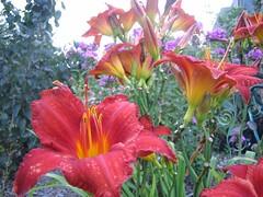 DAYLILIES (kentplants) Tags: garden 8906