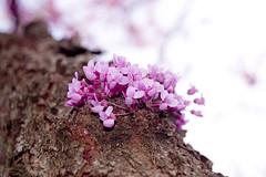 Spring Blooms (joschmoblo) Tags: copyright allrightsreserved 2007 joschmoblo bokehsoniceaugust bokehsoniceaugust11 christinagnadinger